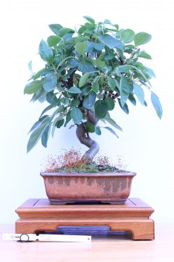 Bonsai medis obelis
