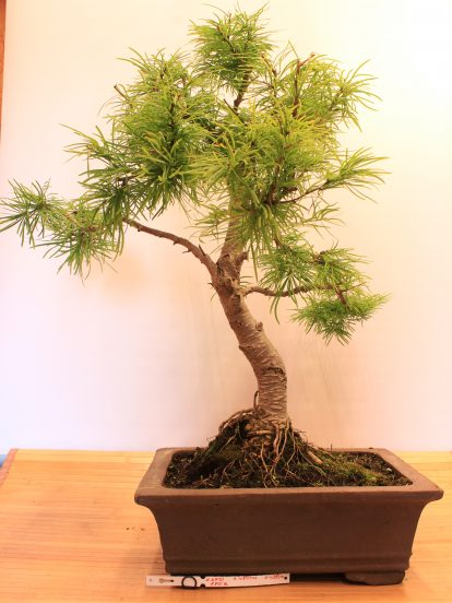 Bonsai maumedis