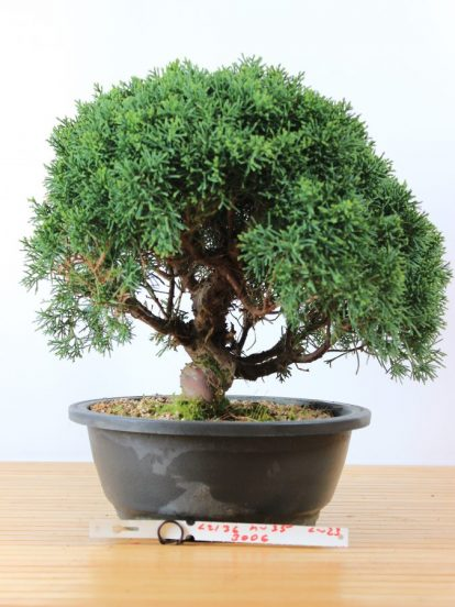 Bonsai Juniperus Sinensis