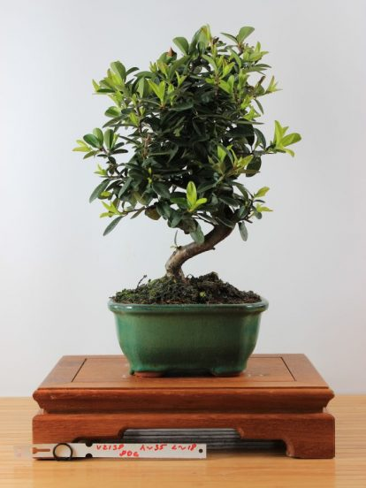 Bonsai Pyracantha augustifolia
