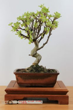 Bonsai Malus Haliana